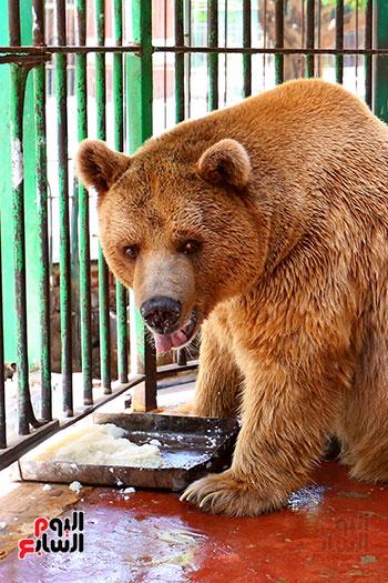 الدب الروسى (2)
