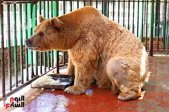 الدب الروسى (1)