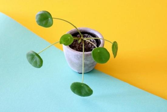 نبات بيليا