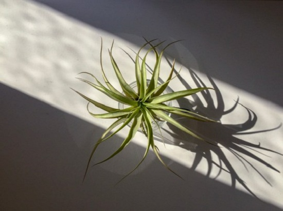 نبات تيلاندسيا