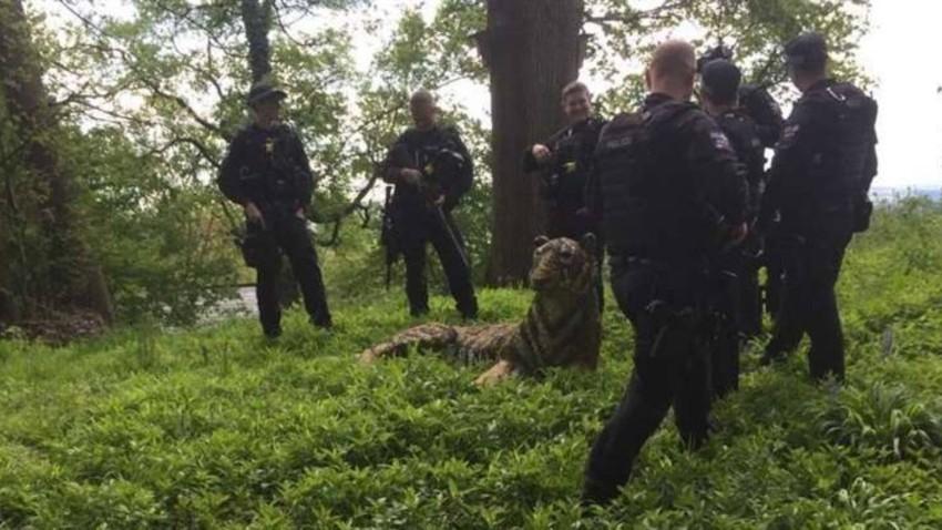 الشرطة حول النمر