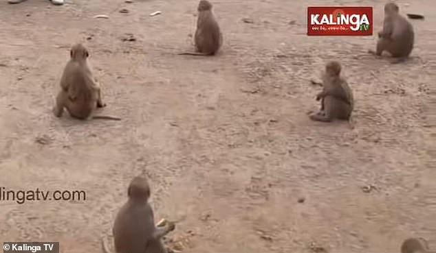 القرود فى الهند  (2)