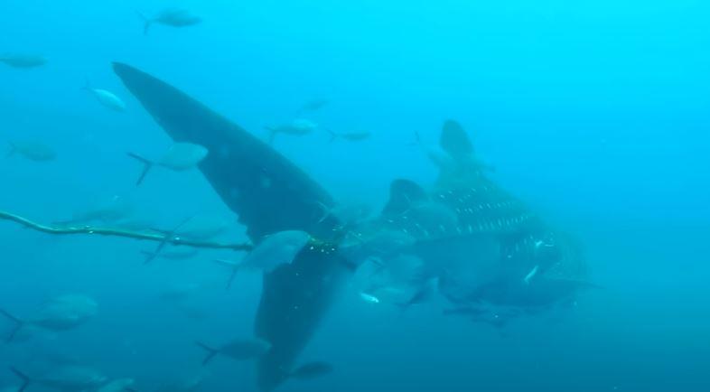 القرش الحوتى  (1)