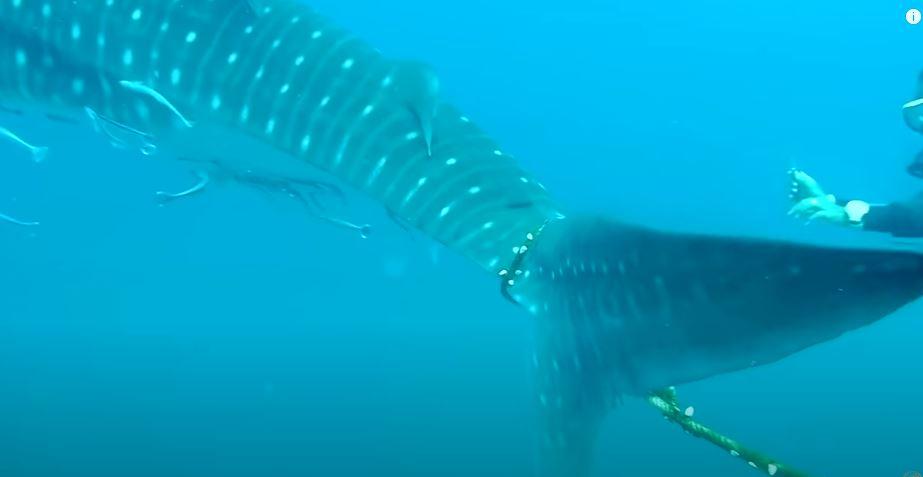 القرش الحوتى  (2)