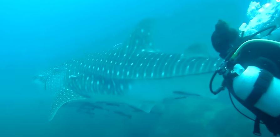 القرش الحوتى  (3)