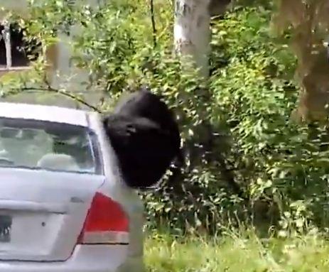 الدب يقفز من الشباك