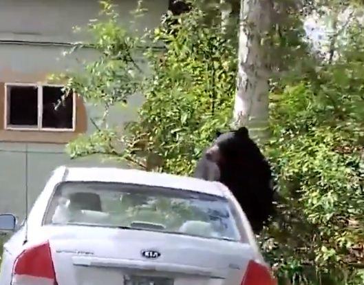 الدب امام السيارة