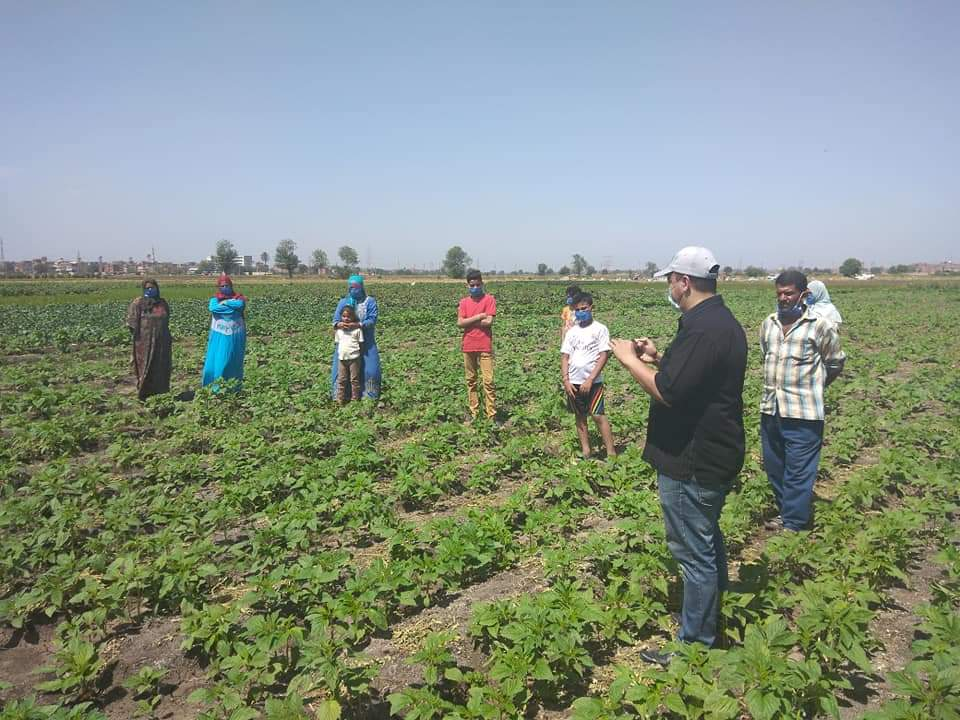 زراعة محصول السمسم (3)