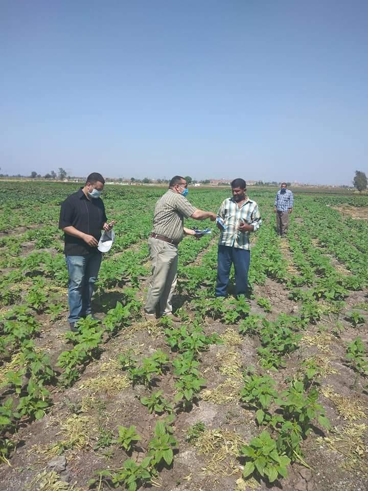 زراعة محصول السمسم (1)