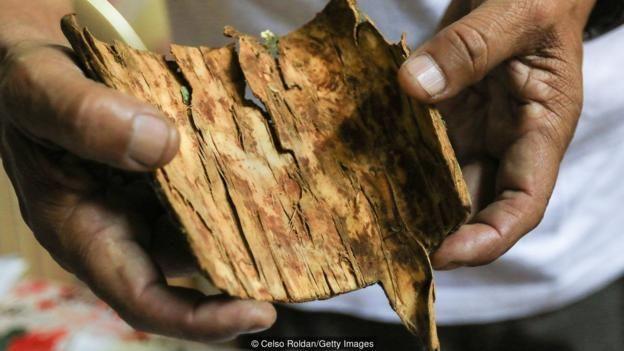استخرج أول عقار للملاريا في العالم من لحاء هذه الشجرة