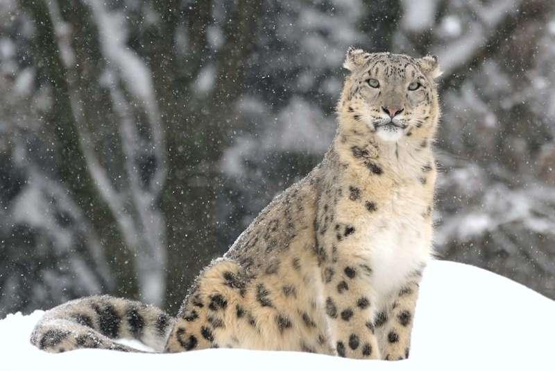 carnivore-Snow-leopard-regions-subcontinent-Asia-Indian (1)