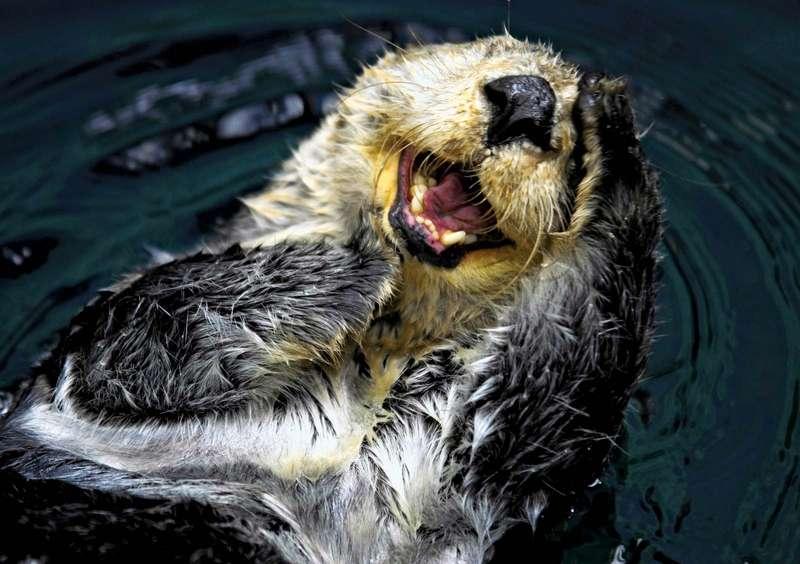 Sea-otter
