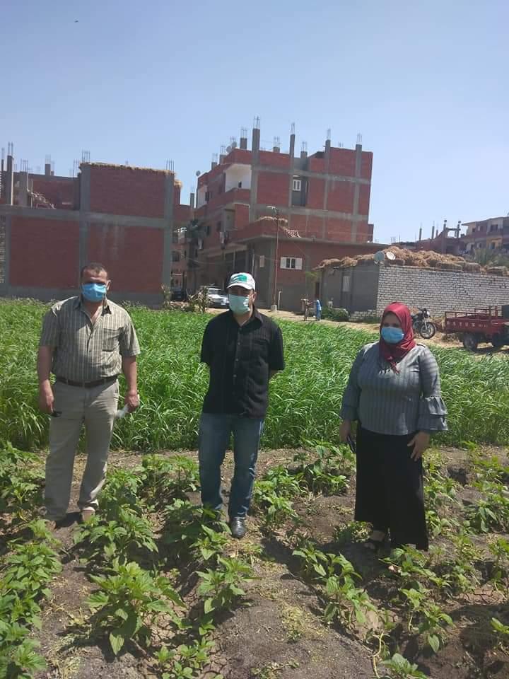 زراعة محصول السمسم (2)