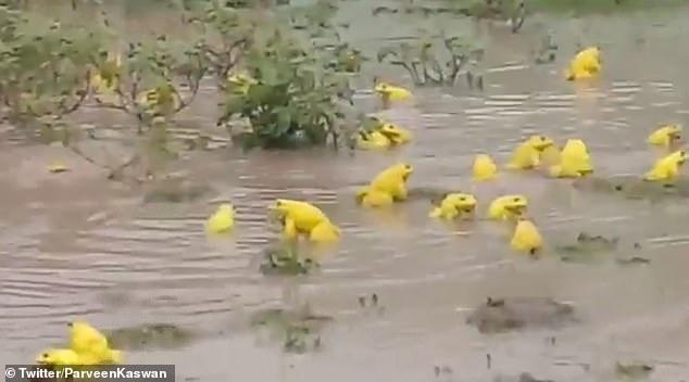 الضفادع الهندية تتحول إلى اللون الأصفر في الهند خلال موسم التزاوج (2)