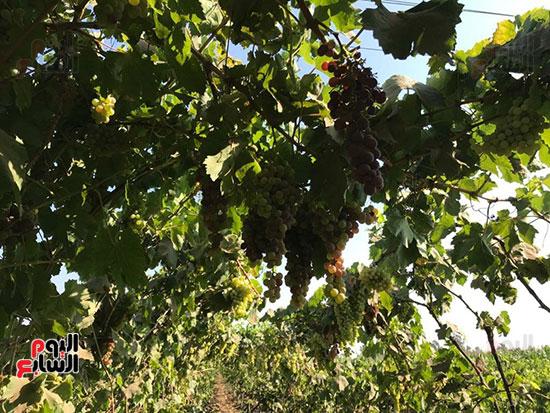 اقطاف العنب في جناين الغربية