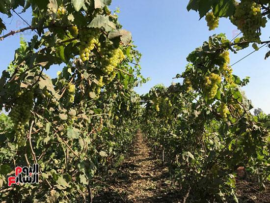 اقطاف العنب تزيين الجناين (2)