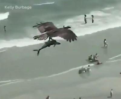 نسر يحمل سمكة قرش بين مخالبه على إحدى الشواطئ في أمريكا (1)