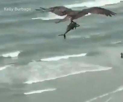 نسر يحمل سمكة قرش بين مخالبه على إحدى الشواطئ في أمريكا (3)
