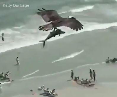 نسر يحمل سمكة قرش بين مخالبه على إحدى الشواطئ في أمريكا (2)