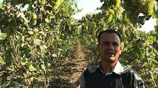 مزارعي العنب يتحدثون لليوم السابع