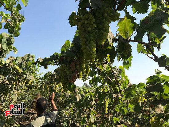 اقطاف العنب تزيين الجناين