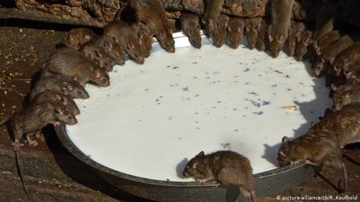 الفئران مقدسة في الهند