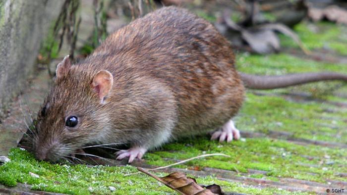 سر الفأر