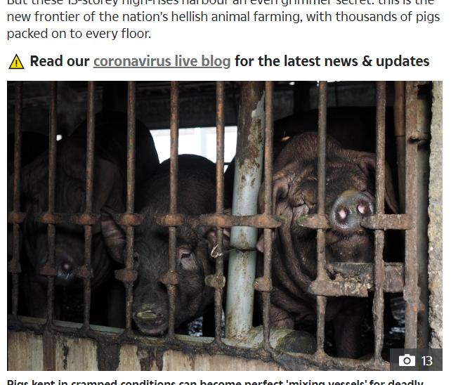الصين تمتلك ملايين الخنازير