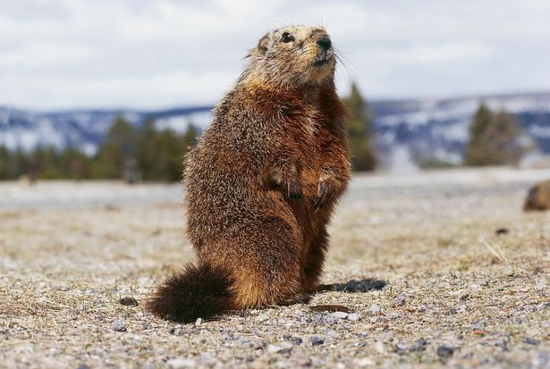 0_Yellow-bellied-marmot-Marmota-flaviventris