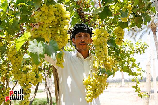 جمع محصول العنب الاصفر