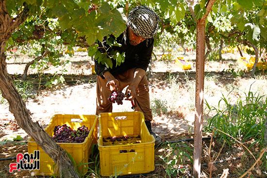 مزارع يجمع العنب
