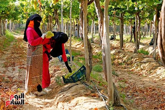 جمع محصول العنب