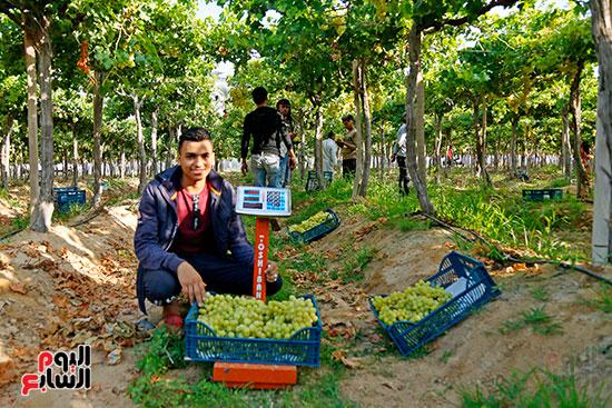 وزن العنب بالمزرعة