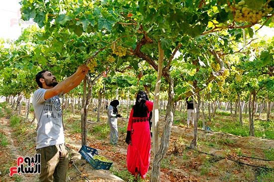 مباشرة العمال اثناء الجني للعنب