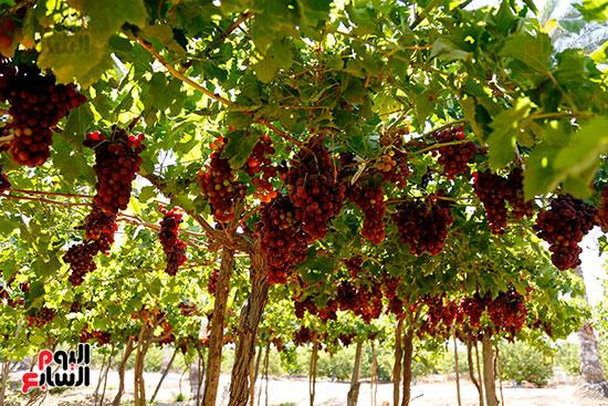 محصول العنب