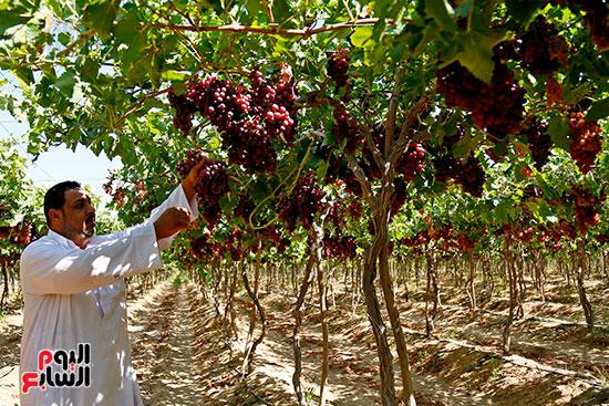 مزارع يباشر نضج العنب
