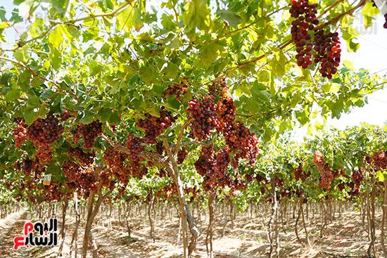 مزارع العنب