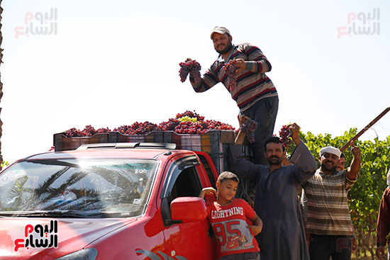 تحميل العنب علي السيارات