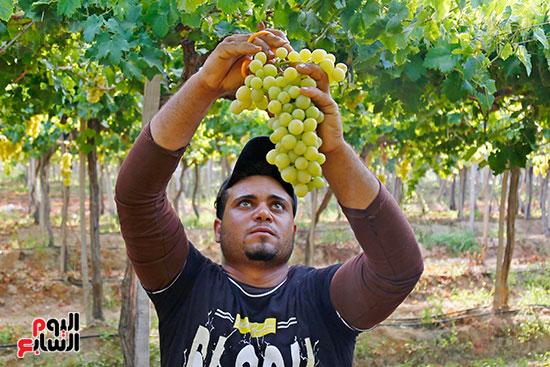لحظة القطف للعنب