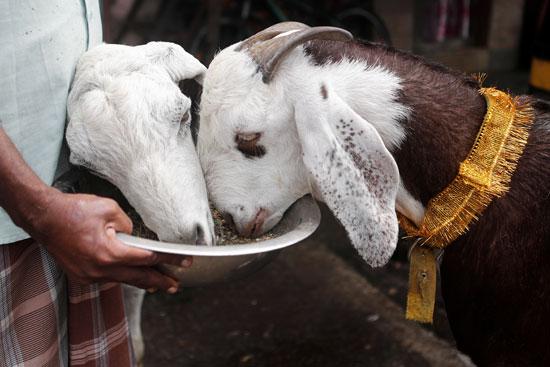 يتم تغذية الماعز قبل ذبحه خلال عطلة عيد الأضحى في مومباي