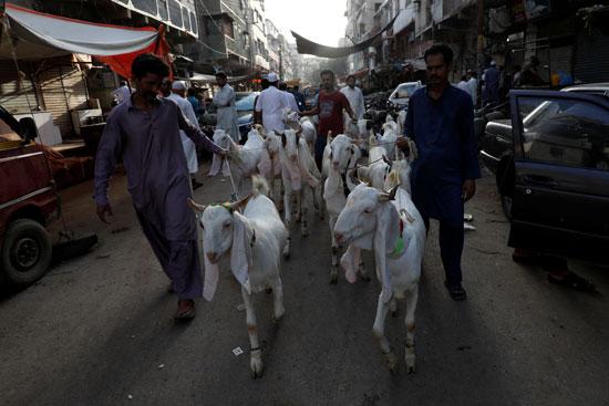 رجال يقودون مجموعة من الماعز يذبحون احتفالاً بعيد الأضحى ، مع استمرار جائحة فيروس التاجي (COVID-19) في كراتشي ، باكستان