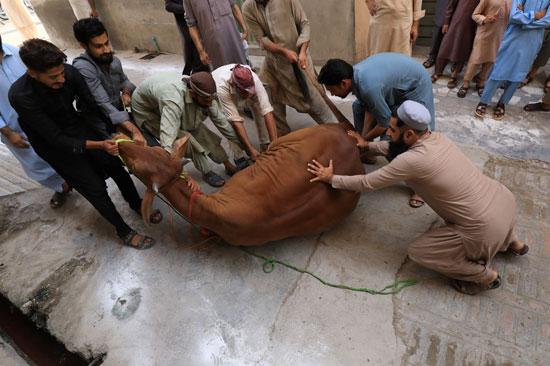 رجال يسيطرون على بقرة تذبح احتفالاً بعيد الأضحى ، مع استمرار جائحة فيروس التاجي (COVID-19) في بيشاور ، باكستان (2)