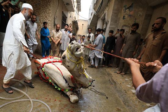 رجال يتجمعون لذبح جمل احتفالاً بعيد الأضحى ، مع استمرار جائحة فيروس التاجي (COVID-19) في بيشاور بباكستان