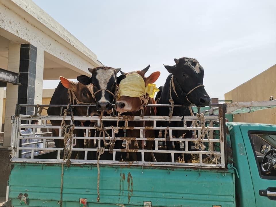 مجزر ابو وير بكوم امبو يستقبل اضاحي  الجمعيات  (4)
