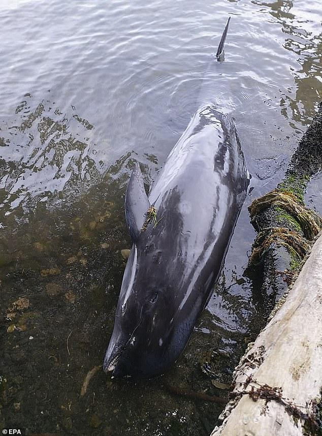 صورة أخرى لأحد الدلافين النافقة