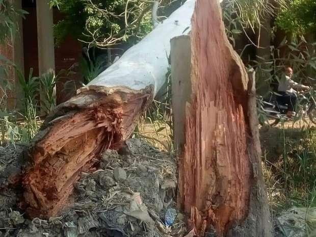 بعد سقوط الشجرة