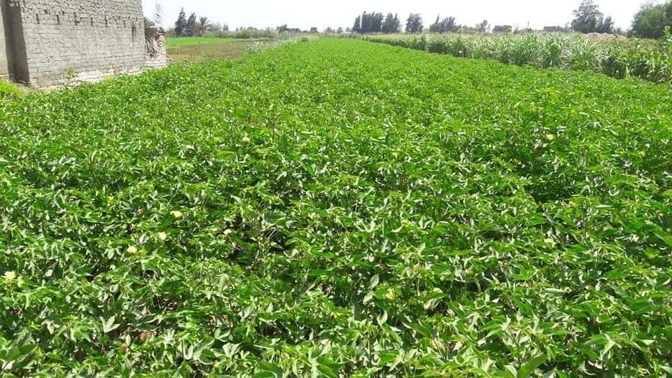 الزراعة فى الاسكندرية (5)
