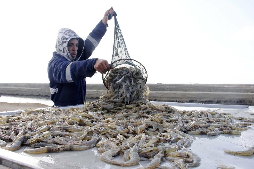 مشروع الاستزراع السمكى بقناة السويس (5)