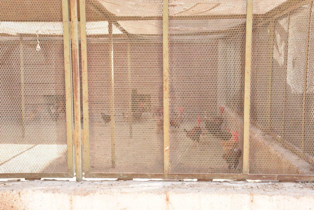 رئيس الجامعة خلال زيارته لمزارع الدواجن والماشية  (14)