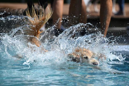 سباحة الكلب فى حمام السباحة